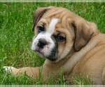 Puppy 2 Beabull