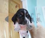 Puppy 8 Basset Hound