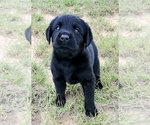 Small #17 Labrador Retriever