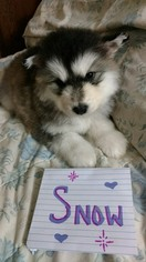 Alaskan Malamute Puppy For Sale in FLAGSTAFF, AZ, USA