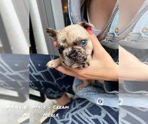 French Bulldog Dog for Adoption in North York, Ontario Canada