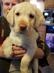 Sheprador Puppy For Sale in BOSCAWEN, NH