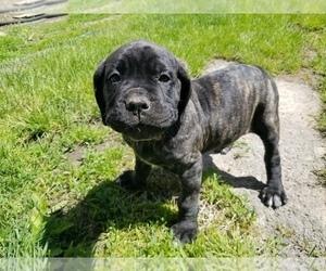 Mastiff Puppy for Sale in FULTON, New York USA