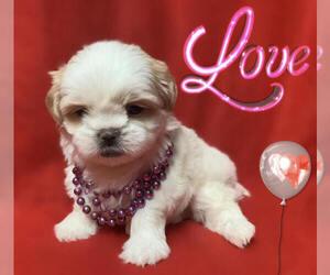 Shih Tzu Dog for Adoption in SAN FRANCISCO, California USA