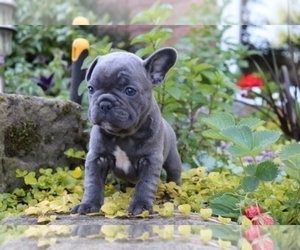 french bulldog puppies nc view ad french bulldog puppy for sale near north carolina 479