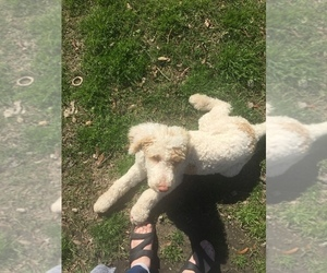 Poodle (Standard) Puppy for sale in JACKSONVILLE, NC, USA