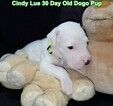 Small Photo #53 Dogo Argentino Puppy For Sale in PINEVILLE, MO, USA