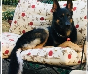 German Shepherd Dog Puppy for sale in WARRENVILLE, IL, USA