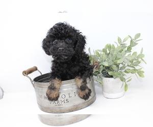 Medium Poodle (Toy)