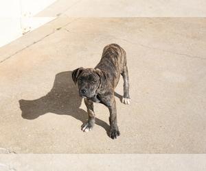 Spanish Bulldog (Alano Español) Dog for Adoption in WOODRUFF, South Carolina USA