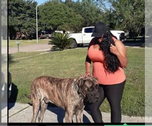 Mastiff Puppy for sale in CYPRESS, TX, USA