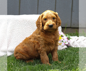 Goldendoodle-Poodle (Standard) Mix Dog for Adoption in EAST EARL, Pennsylvania USA