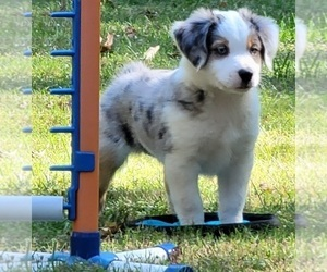 Miniature American Shepherd Puppy for sale in BELLA VISTA, AR, USA