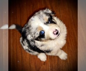 Australian Shepherd Dog for Adoption in PHOENIX, Arizona USA