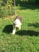 Old English Sheepdog Puppy For Sale in MUNFORDVILLE, KY, USA