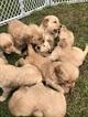 Golden Retriever Puppy For Sale in LODI, NY, USA