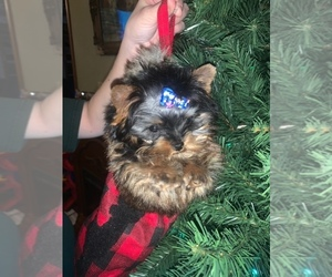 Yorkshire Terrier Puppy for Sale in FORT GIBSON, Oklahoma USA