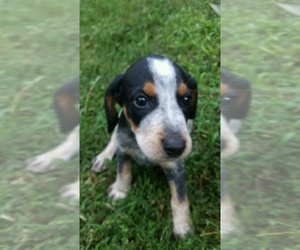 Bluetick Coonhound Puppy for sale in IVA, SC, USA
