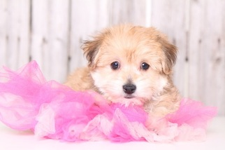 Yorkshire Terrier Puppy For Sale in MOUNT VERNON, OH