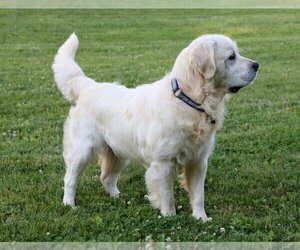 Father of the English Cream Golden Retriever puppies born on 09/02/2020