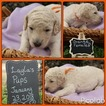 Goldendoodle Puppy For Sale in COVINGTON, Georgia,