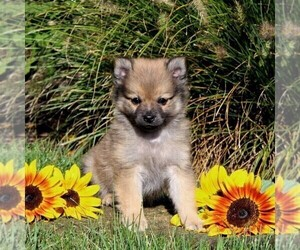 Pomeranian Puppy for sale in PARADISE, PA, USA