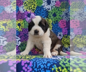 Saint Bernard Dog for Adoption in AIRVILLE, Pennsylvania USA