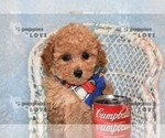 Small #12 Poodle (Toy)