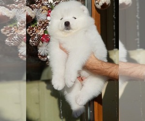 Samoyed Puppy for sale in COSTA MESA, CA, USA