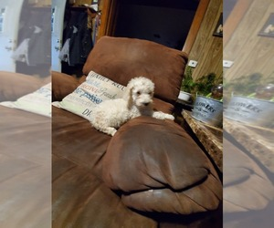 Poodle (Standard) Puppy for sale in DUNKIRK, OH, USA