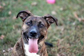 Lady-FULLY SPONSORED-FEES WAIVED - Mountain Cur (short coat) Dog For Adoption
