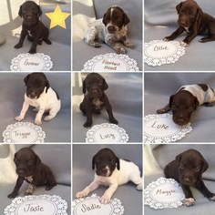 German Shorthaired Pointer Puppy For Sale in MURFREESBORO, TN, USA
