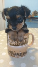 Yorkie-Poo Puppy For Sale in INDIANAPOLIS, IN