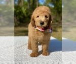 Small #8 Goldendoodle