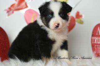 Miniature Australian Shepherd Puppy for sale in EASTON, MO, USA