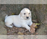 Puppy 2 Golden Retriever