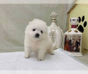 Japanese Spitz Puppy for sale in NEW YORK, NY, USA