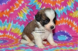 Saint Bernard Puppy For Sale in MILLERSBURG, IN, USA