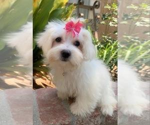 Maltipoo Puppy for sale in RANCHO CALIFORNIA, CA, USA