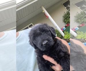 Schnauzer (Giant) Puppy for Sale in AURORA, Missouri USA