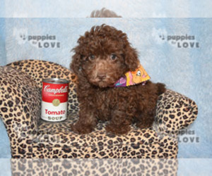 Poodle (Toy) Dog for Adoption in SANGER, Texas USA