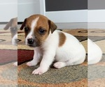 Puppy 5 Jack Russell Terrier