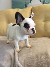 French Bulldog Puppy for sale in RICHMOND, VA, USA