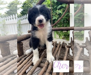 Bordoodle Puppy for sale in CRESTON, OH, USA