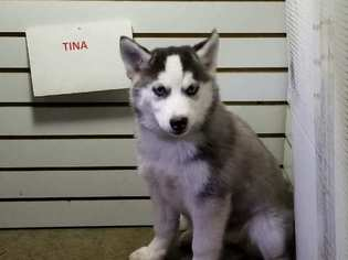 View Ad Siberian Husky Puppy For Sale Indiana New Haven Usa