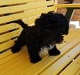 Yo-Chon Puppy For Sale in ARTHUR, IL