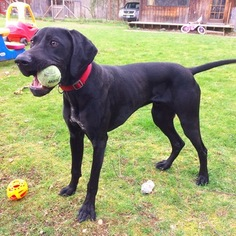 German Shorthaired Pointer Puppy for sale in WOODINVILLE, WA, USA