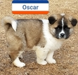Akita Puppy For Sale in DELTA JUNCTION, AK, USA