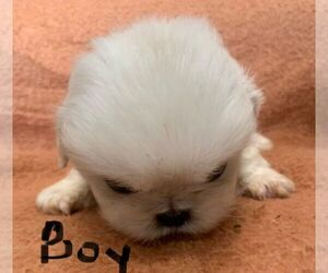 Pekingese Puppy for sale in CHAMPION, NC, USA