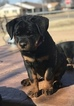 Rottweiler Puppy For Sale in CRESCENT, Oklahoma,